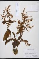 Buddleja crotonoides image