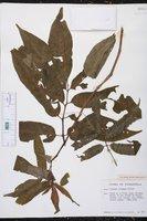 Solanum trizygum image