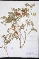 Tephrosia purpurea image