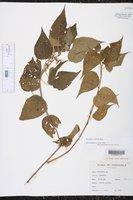 Acalypha cuspidata image