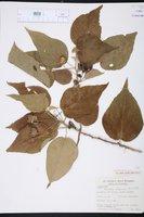 Image of Bakeridesia integerrima