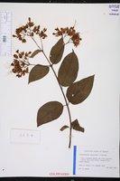 Clerodendrum x speciosum image