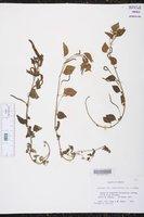 Image of Acalypha rubroserrata