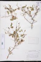 Ruellia peninsularis image