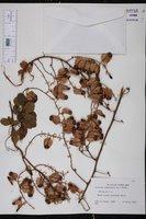 Serjania polyphylla image