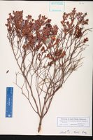 Hypericum edisonianum image