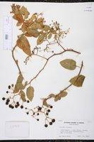 Image of Solanum gayanum