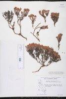Image of Eriogonum fastigiatum