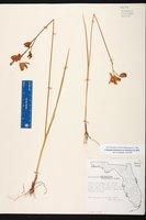 Calopogon tuberosus var. tuberosus image