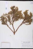 Juniperus occidentalis var. australis image