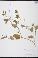 Image of Solanum furcatum