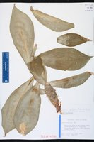 Costus pulverulentus image