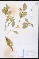 Citrus japonica image