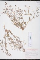 Image of Eriogonum gossypinum