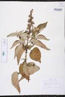 Image of Croton ciliatoglandulosus