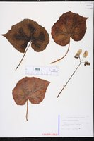 Image of Begonia masoniana