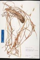 Hyparrhenia rufa image
