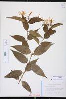 Image of Jasminum laurifolium