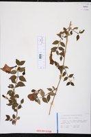 Thunbergia erecta image