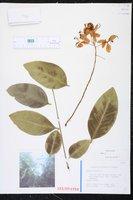 Cassia fistula image