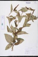 Image of Croton adspersus