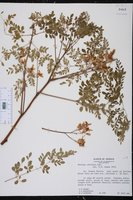 Moringa oleifera image