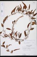 Microgramma piloselloides image