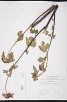 Image of Malachra radiata