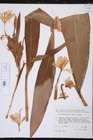 Hedychium flavescens image