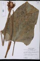 Anthurium grandifolium image