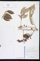 Lonchocarpus punctatus image