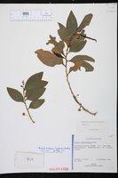 Image of Acacia simplex