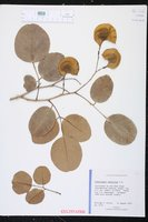Image of Pterocarpus santalinus