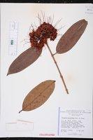 Image of Syzygium pycnanthum