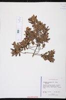 Diospyros lycioides image