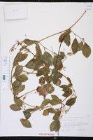 Cobaea scandens image