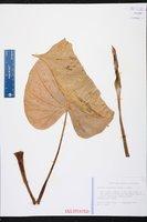 Alocasia cucullata image