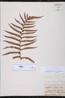 Thelypteris puberula var. puberula image