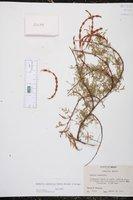 Acacia constricta image
