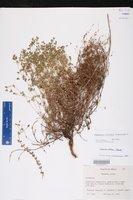 Chamaesyce villifera image
